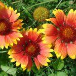 https://www.needpix.com/photo/279570/gaillardia-blanket-flowers-summer-floral-garden-bloom-petal-blossom