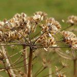 https://www.needpix.com/photo/757793/hogweed-plant-nature-close-umbelliferae