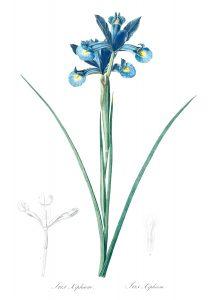 https://www.rawpixel.com/image/502208/free-illustration-image-redoute-botanical-flower-vintage
