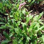 Crédit : Daderot [CC0], from Wikimedia Commons (https://commons.wikimedia.org/wiki/File:Polygonum_affine_%27Superba%27_(Persicaria_affinis)_-_VanDusen_Botanical_Garden_-_Vancouver,_BC_-_DSC07146.jpg)