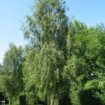 Crédit : Gilles San Martin from Namur, Belgium (Betula pendulaUploaded by Jacopo Werther) [CC BY-SA 2.0  (https://creativecommons.org/licenses/by-sa/2.0)], via Wikimedia Commons