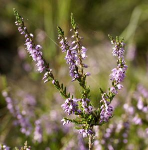 Crédit : Udo Schmidt from Deutschland (Calluna vulgaris (L.) Hull.Uploaded by Amada44) [CC BY-SA 2.0  (https://creativecommons.org/licenses/by-sa/2.0)], via Wikimedia Commons