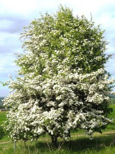 Crédit : Ptelea [CC BY-SA 3.0   (https://creativecommons.org/licenses/by-sa/3.0 )], from Wikimedia Commons (https://commons.wikimedia.org/wiki/File:Crataegus_monogyna,_Ports_Down.jpg)