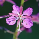 Crédit :  Dcrjsr [CC BY 3.0   (https://creativecommons.org/licenses/by/3.0 )], from Wikimedia Commons (https://commons.wikimedia.org/wiki/File:Fireweed_Epilobium_angustifolium_one_flower_close.jpg)