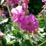 Crédit : Hardyplants at English Wikipedia (Transferred from en.wikipedia to Commons.) [Public domain], via Wikimedia Commons (https://commons.wikimedia.org/wiki/File:Geranium_macrorrhizum_flowers.jpg)
