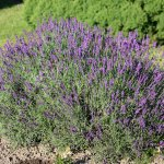 Crédit : Maja Dumat from Deutschland (Germany) (Echter Lavendel (Lavandula angustifolia)) [CC BY 2.0  (https://creativecommons.org/licenses/by/2.0)], via Wikimedia Commons