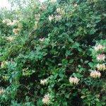 Crédit : Alan Fryer / Gwyddfid - Lonicera periclymenum - Honeysuckle (https://commons.wikimedia.org/wiki/File:Gwyddfid_-_Lonicera_periclymenum_-_Honeysuckle_-_geograph.org.uk_-_543365.jpg)