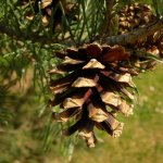 Crédit : Laurence Livermore from UK (Fir Cone) [CC BY 2.0  (https://creativecommons.org/licenses/by/2.0)], via Wikimedia Commons
