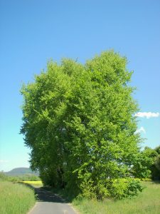 Crédit : Willow [CC BY-SA 2.5  (https://creativecommons.org/licenses/by-sa/2.5)], from Wikimedia Commons