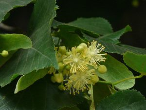 Crédit : Dinesh Valke from Thane, India (Tilia cordata) [CC BY-SA 2.0  (https://creativecommons.org/licenses/by-sa/2.0)], via Wikimedia Commons