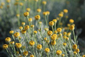 https://pixabay.com/fr/photos/santoline-fleur-santoline-fleurs-3520902/