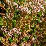 https://pixabay.com/fr/photos/rotmoos-orpin-fleur-coral-carpet-3595637/